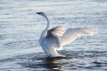 サン・サーンスの白鳥